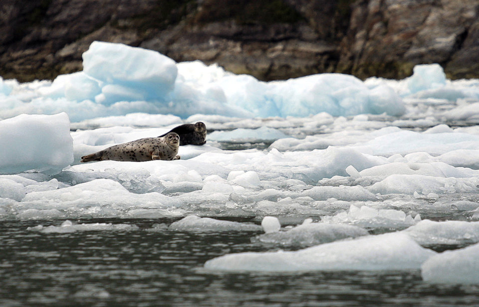 Photo - Seals sit on icebergs near the South Sawyer Glacier in Southeast Alaska, Sunday, June 3, 2012.  Photo by Sarah Phipps, The Oklahoman