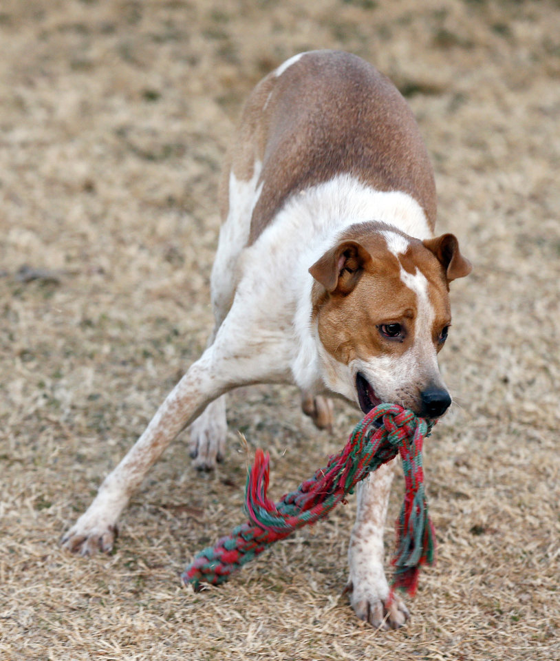 Photo -  Rescue dog Cooper plays fetch at the Edmond Animal Shelter. [PHOTO BY NATE BILLINGS, THE OKLAHOMAN]