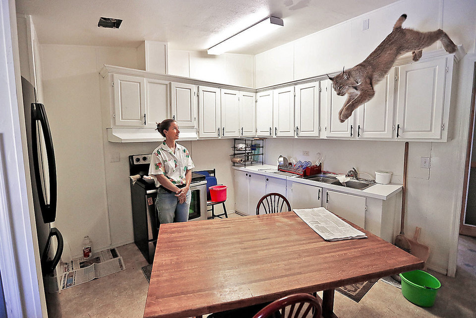 Photo - Cougar rescuer and owner Leah Aufill  watches as Canadian Bobcat named Isabell jumps on to the table for feeding time at her home on Friday, July 28, 2013 in Perkins, Okla. Aufill's home is a complete facility that allows her to house and rescue cougars along with the bobcats.   Photo by Chris Landsberger, The Oklahoman