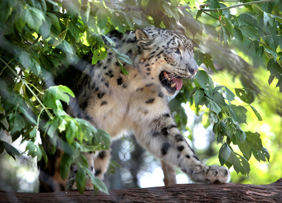 Dhirin, a  snow leopard, is shown at the Oklahoma City Zoo. <strong>David McDaniel - The Oklahoman</strong>