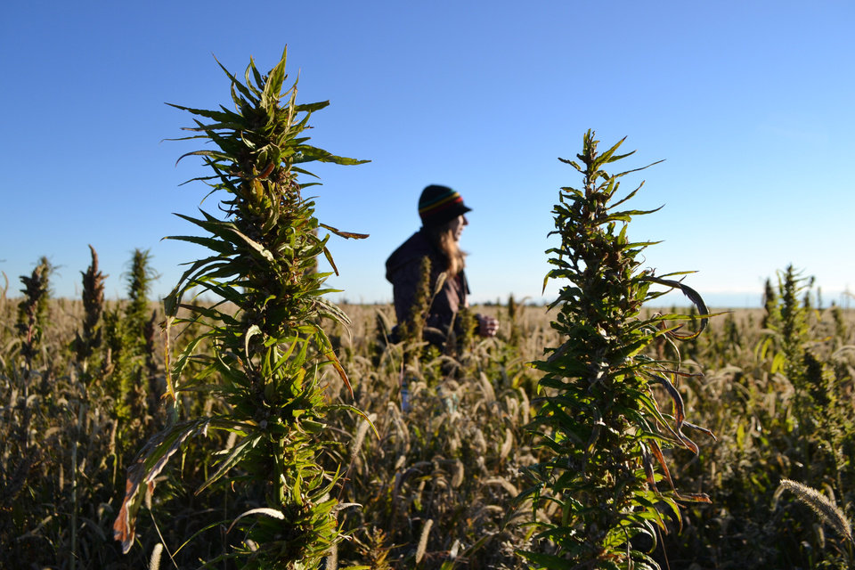 Photo - In this Oct. 5, 2013 file photo, a volunteer helps harvest hemp during the first known harvest of the plant in more than 60 years, in Springfield, Colo. The federal farm bill agreement reached Monday Jan. 27, 2014 reverses decades of prohibition for hemp cultivation. Instead of requiring approval from federal drug authorities to cultivate the plant, the 10 states that have authorized hemp would be allowed to grow it in pilot projects or at colleges and universities for research. (AP Photo/P. Solomon Banda, File)