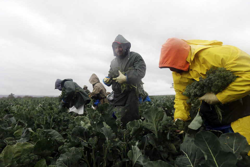 Photo - Farmworkers pick broccolini in the rain on Wednesday, Feb. 26, 2014, in King City, Calif. A potentially stronger storm is expected to move in late Thursday, bringing much needed rain in central and southern valleys and snow to the mountains in the drought-stricken state. (AP Photo/Marcio Jose Sanchez)