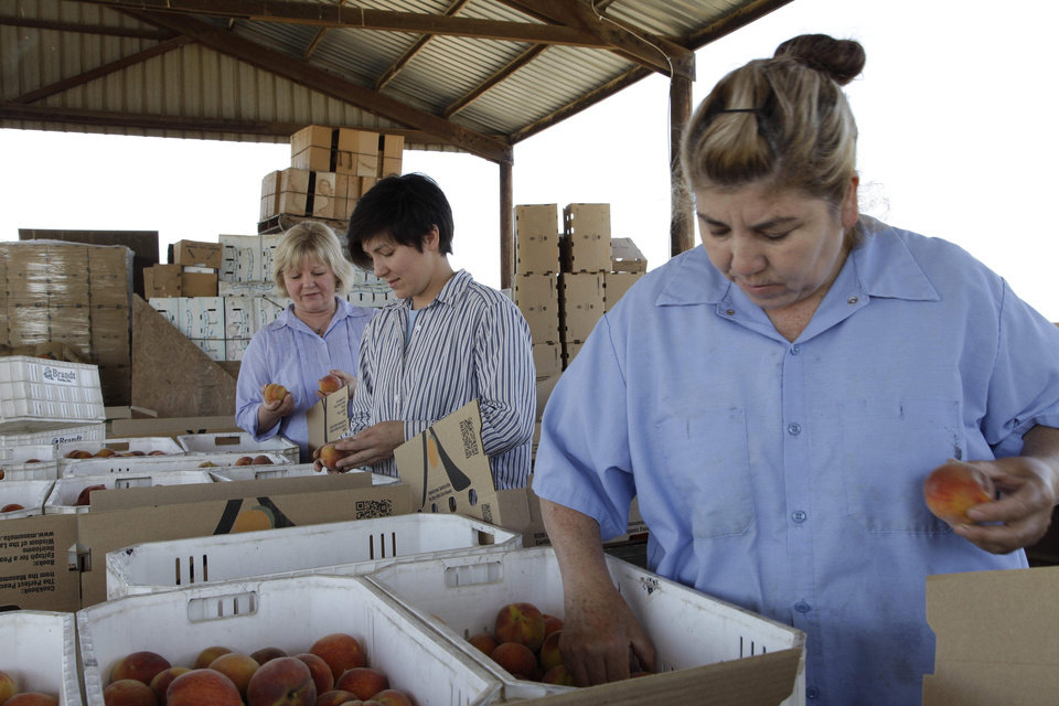 Photo - In this photo taken on Friday, June 7, 2013 in Del Rey, Calif., Marcy Masumoto, left, her daughter Nikiko Masumoto, center and farmworker Ana Guillen, right, package specialty peaches for restaurants and high end markets. The Masumotos, who grow 35 acres of organic peaches and nectarines near Fresno, have published a peach cookbook to tell their family story and create a stronger link to peach consumers. (AP Photo/Gosia Wozniacka)