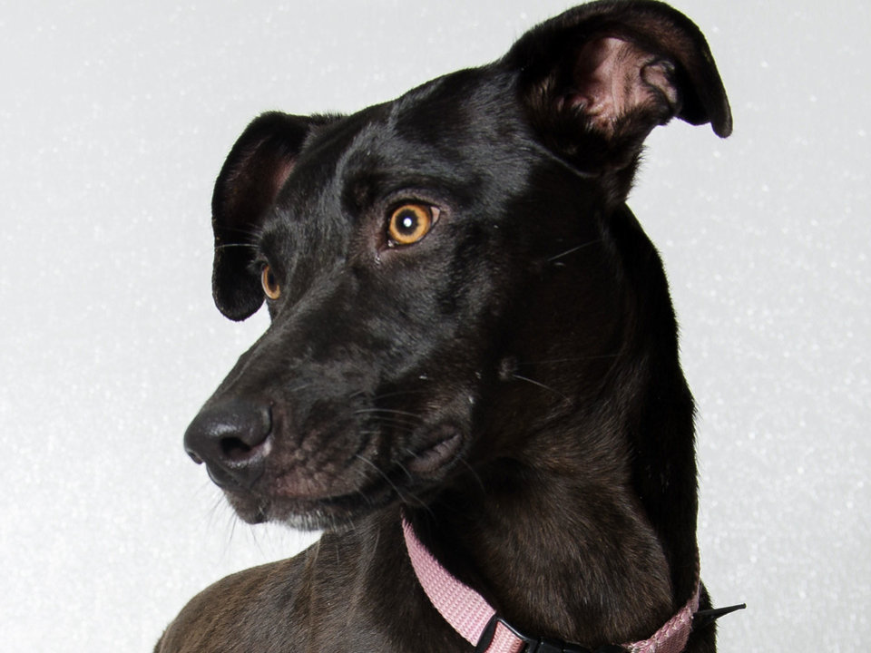 Photo - Annie is a 1-year-old, 30-pound Labrador mix who likes dogs and children. She must be an indoor dog as she can jump fences. She is housebroken. Her Oklahoma City Animal Shelter number is 102542, and her adoption fee is $25. The shelter is at 2811 SE 29. PHOTO PROVIDED BY OKLAHOMA CITY  ANIMAL SHELTER