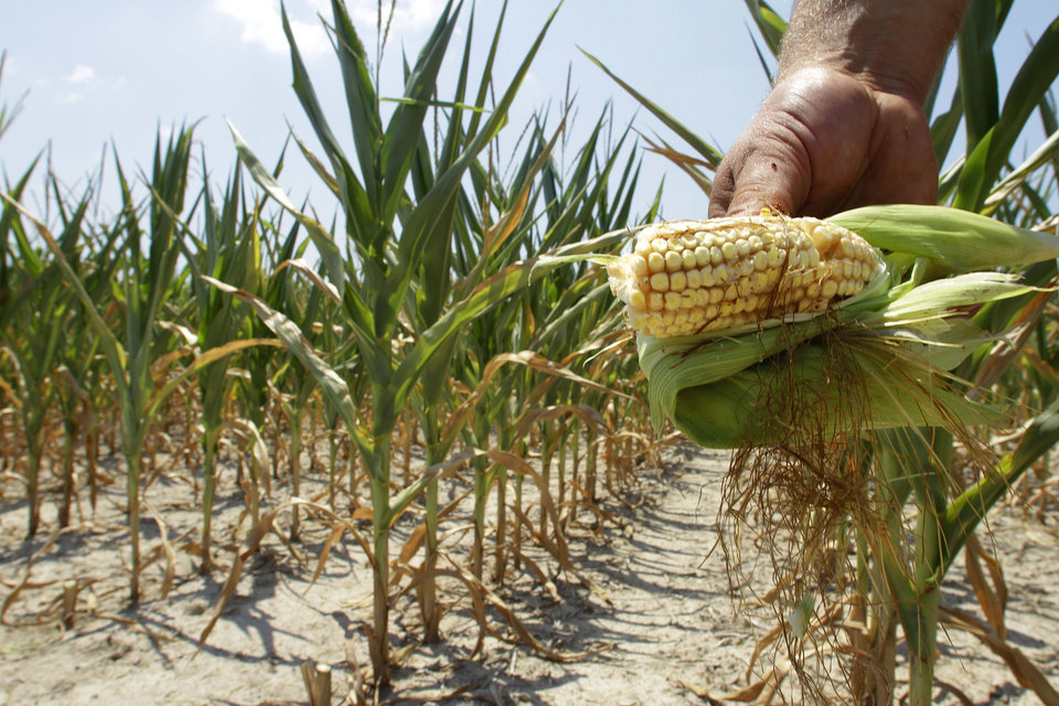 Photo -  In this 2012 file photo, Steve Niedbalski shows his drought and heat stricken corn while chopping it down for feed in Nashville, Ill. Higher temperatures will reduce Midwest crop yields by 19 percent by midcentury and by 63 percent by the end of the century, according to a report backed by a trio of men with vast business experience that was released Tuesday. AP File Photo   Seth Perlman -  AP