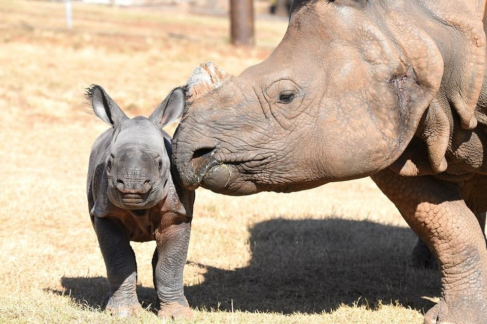 Photo - The Oklahoma City Zoo is inviting the public to vote on names for its baby female Indian rhino, which was born Oct. 23. She is the second offspring for Niki, 13. [Sabrina Heise photo]