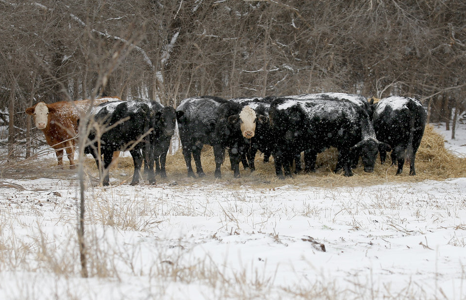 Photo - Cattle eat hay in a field in northwest Oklahoma City, Sunday, Feb. 14, 2021. Photo by Sarah Phipps, The Oklahoman