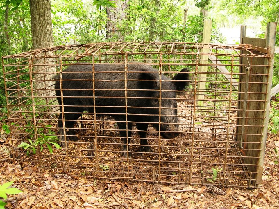 Photo - In this May 21, 2008 photo provided by trapperjohnschmidt.com, feral hogs caught by trapper John Schmidt are caged in Lacombe, La. An estimated 5 million swine, descendants of both escaped domestic pigs and wild Eurasian boars imported by hunters, do about $800 million in damage a year to farms nationwide. Damage outside farms and population control bring the annual total to $1.5 billion. (AP Photo/trapperjohnschmidt.com, John Schmidt)