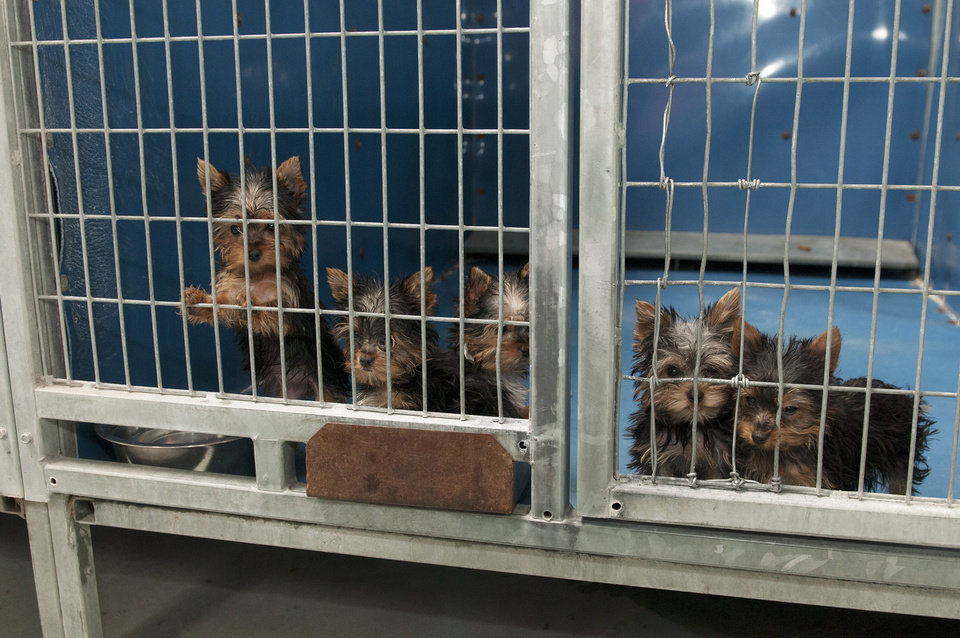 Photo - In this Monday, Feb. 3, 2014 photo, rescued Yorkshire terrier puppies peer out from their enclosure at Lied Animal Shelter in Las Vegas where 27 puppies were taken after a fire at Gloria Lee's Prince and Princess Pet Boutique. Lee, 35, is facing charges of arson following the fire. All the puppies were rescued from the fire. (AP Photo/Las Vegas Review-Journal, Erik Verduzco) LOCAL TV OUT; LOCAL INTERNET OUT; LAS VEGAS SUN OUT