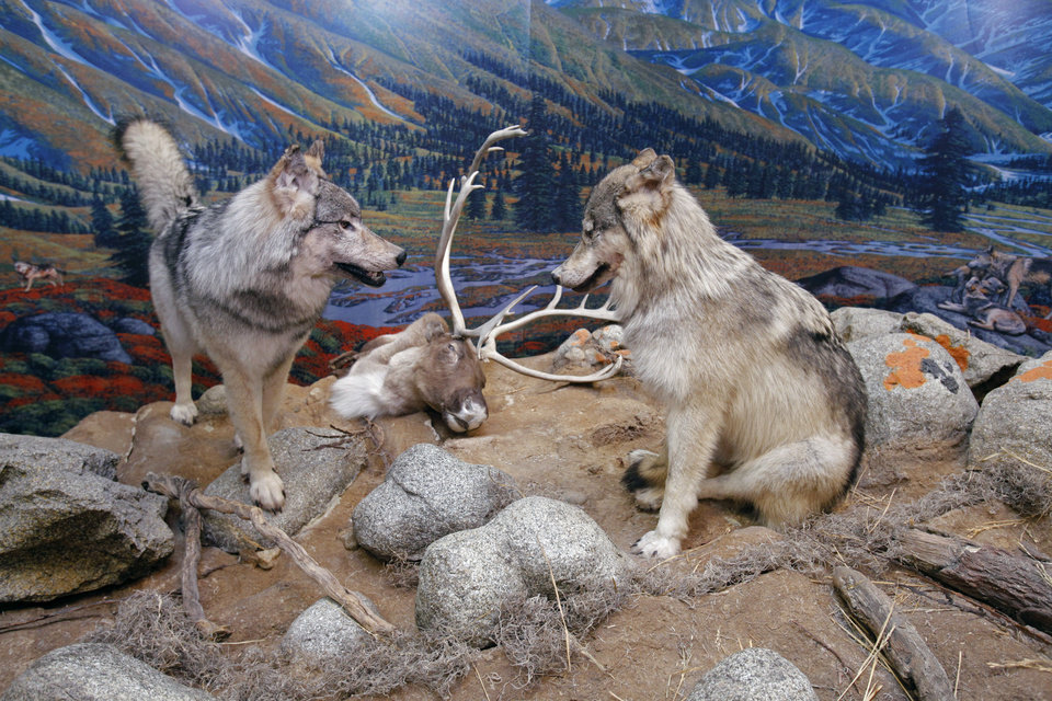 "Life-size displays are part of the ""Wolf to Woof: The Story of Dogs"" exhibit at Sam Noble Oklahoma Museum of Natural History on Wednesday, September 28, 2011, in Norman, Okla.   Photo by Steve Sisney, The Oklahoman"
