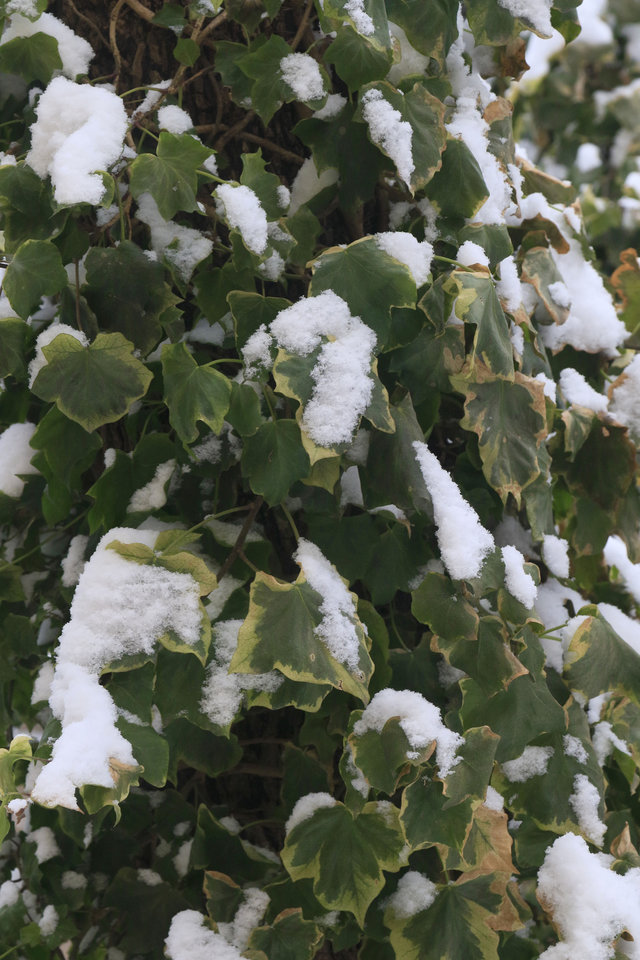 Photo - Snow clings to an ivy vine after the year's first snowfall in Edmond, Okla. Friday, Jan. 6, 2017.  Photo by Paul Hellstern, The Oklahoman