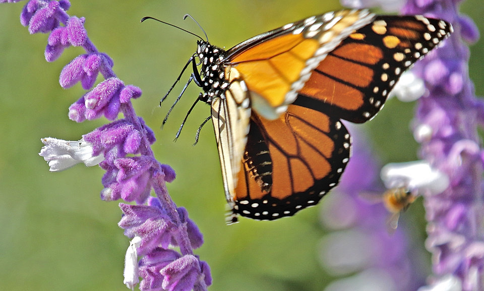 Photo - A monarch butterfly lands on Mexican bush sage in Pumpkinville, at the Myriad Gardens in Oklahoma City, Tuesday October, 11 2016. Photo By Steve Gooch, The Oklahoman