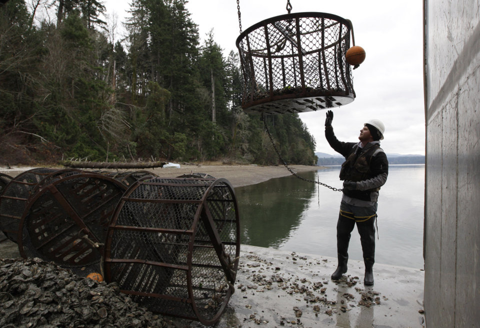 Photo - FILE - In this Dec. 8, 2011 file photo, Dammon Saunders, a deckhand with Taylor Shellfish Farms, reaches for a container as he transplants Totten Virginica oysters, on the waters of Oyster Bay in the Totten Inlet near Shelton, Wash.  Oyster growers in Washington state are among those observing climate-related changes that are outside of recent experience, according to the National Climate Assessment report released Tuesday, May 6, 2014.  (AP Photo/Ted S. Warren, File)
