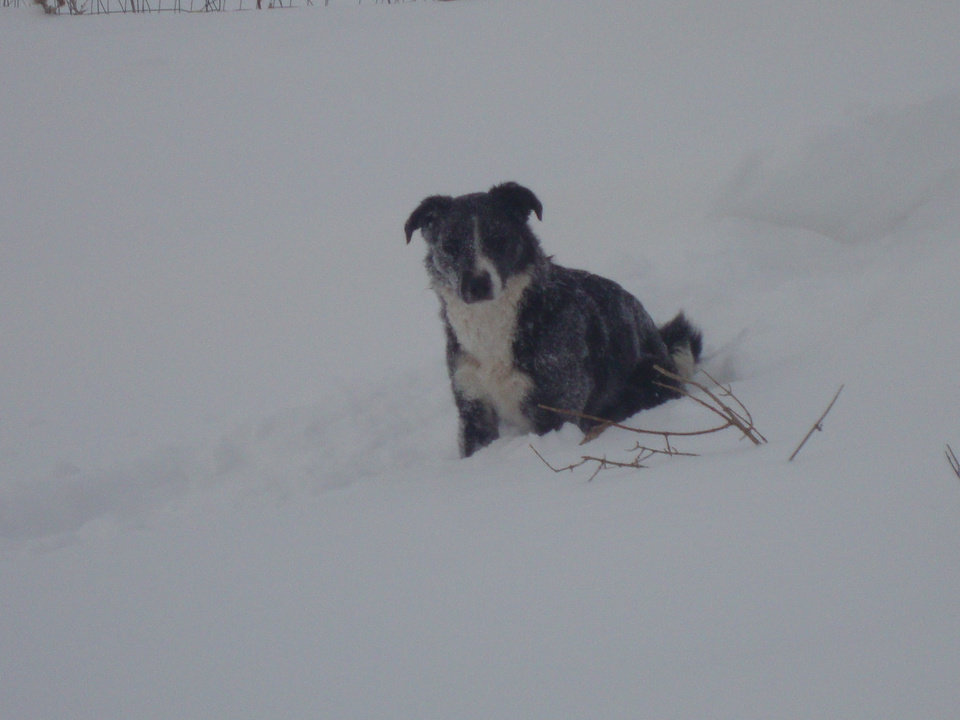 Photo - FAIRVIEW -- Ruby waiting to go feed sheep (had to walk through hip deep snow to feed)
