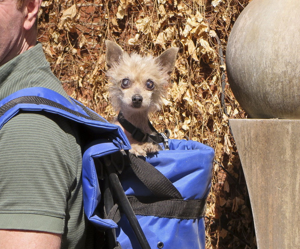 Photo - In this March 24, 2014 photo provided by Steve Greig, his dog, Phyllis, a  Chihuahua-poodle mix, peers out of Greig's backpack during a walk near the Colorado-Nebraska border. Greig found the 10-year-old dog  on Erin O'Sullivan's