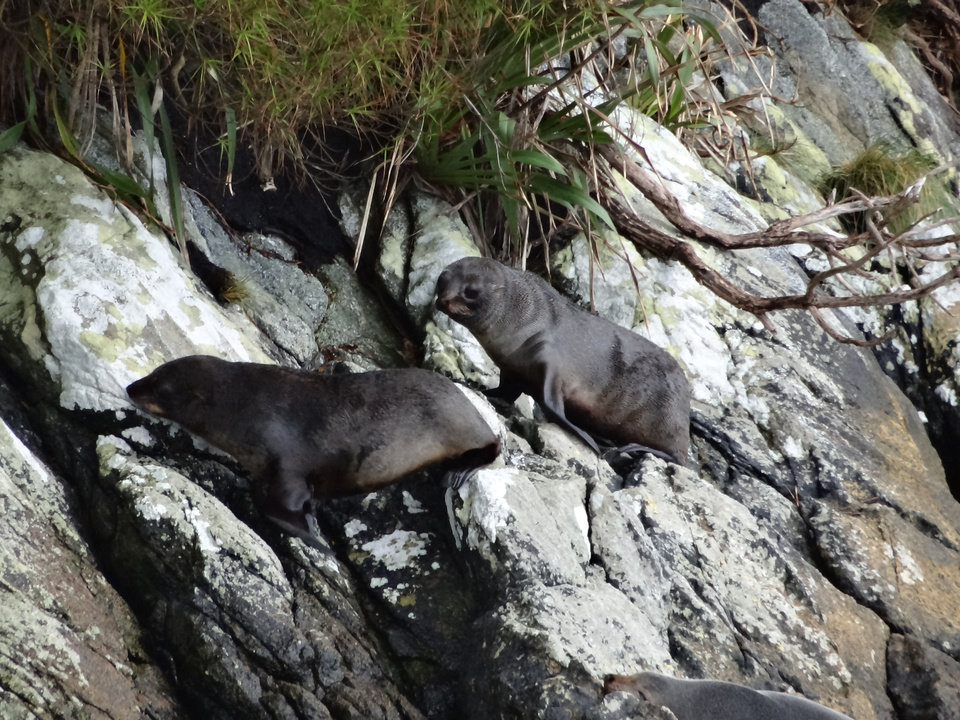 Photo - Seals hang out on the rocks overlooking the frigid water of Doubtful Sound in Fiordland National Park.  PHOTO BY DAMON FONTENOT, THE OKLAHOMAN