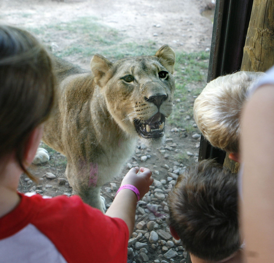 Photo - Children get a close-up look at one of the young lions at the Oklahoma City Zoo in Oklahoma City, OK, Thursday, June 25, 2009. By Paul Hellstern, The Oklahoman ORG XMIT: KOD