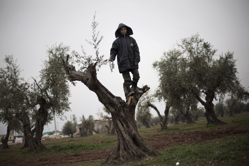 Photo - A displaced Syrian boy is seen at the top of an olive tree near the Azaz camp for displaced people, north of Aleppo province, Syria, Friday, Feb. 22, 2013. According to Syrian activists the number of people in the Azaz camp has grown by 3,000 in the last weeks due to heavier shelling by government forces. (AP Photo/Manu Brabo)