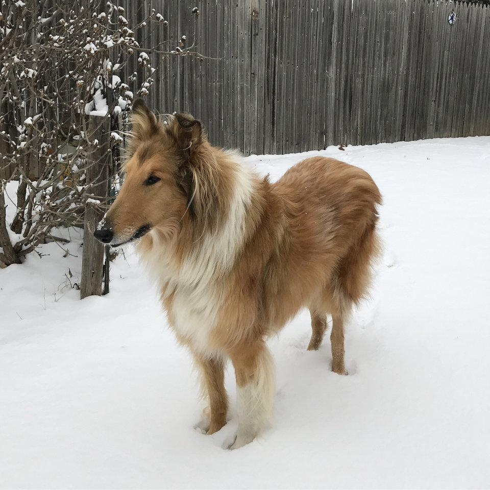 Photo - Boomer is loving the first snow of the winter season!  by Marissa McGinley #newsoknow #Weather