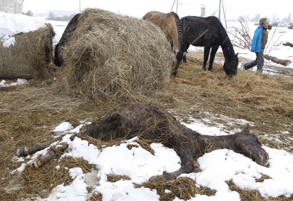 A volunteer walks after bringing some food for horses as a dead animal seen in front at a farm near Vilnius, Lithuania, Friday, April 5, 2013. Veterinarians are working to save the lives of dozens of horses found without adequate food or shelter on a farm near Vilnius, Lithuania's capital. Some 122 horses were kept on farmer Algis Kausakis' property through the long winter without proper food, water and shelter. Kausakis had come under criticism for not keeping the animals in a stable, but he told a Vilnius court last week the horses could take care of themselves and didn't need shelter. Rescue workers said Friday that many of the horses were so hungry they couldn't stand up and that as many as 30 might die. (AP Photo/Mindaugas Kulbis)