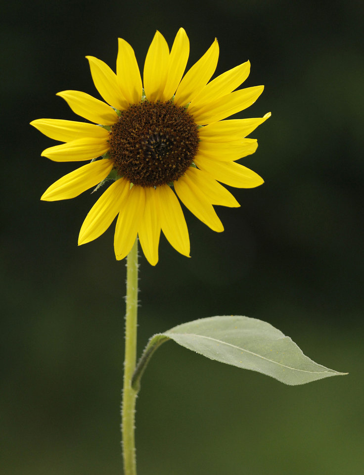 Photo - Kamala Gamble and her Guilford Gardens, Friday June 22, 2012.Sunflower.  Photo by Doug Hoke, The Oklahoman