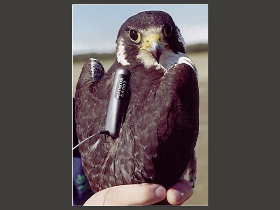 Photo - GPS / WILDLIFE TRACKING: A raptor wears a GPS tracking device.  Photo Provided  ORG XMIT: 0912211602581052