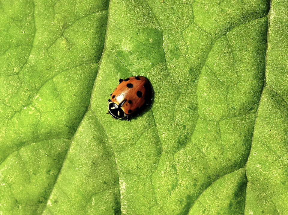 """Myriad Botanical Gardens Crystal Bridge annual """"Bug Out"""". A ladybug on a begonia leaf after being released.  More than 70,000 ladybugs were released by staff, students,  and visitors in the Crystal Bridge as a part of the Gardens' Integrated Pest Management program.  Integrated Pest Management is a way horticulturists at the Myriad Botanical Gardens eliminate aphids without using toxic chemicals.  Staff photo by Paul B. Southerland"""