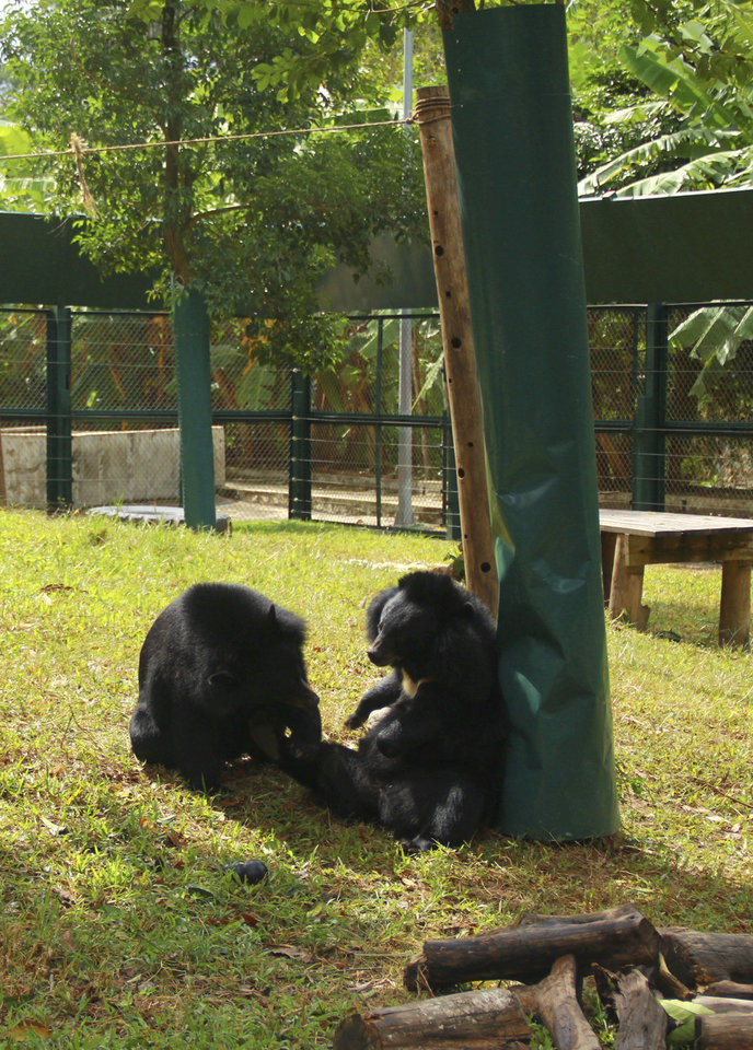 Photo -   In this photo taken Oct. 29, 2012, bears sit inside an enclosure at the Vietnam Bear Rescue Center in Tam Dao, Vietnam. The bears, some of them blinded or maimed, play behind tall green fences like children at school recess. Rescued from Asia's bear bile trade, they were brought to live in this lush national park, but now they may need saving once more. The future of the $2 million center is in doubt after Vietnam's vice defense minister in July ordered it not to expand further and to find another location, saying the valley is of strategic military interest. Critics allege the park director is urging an eviction because he has a financial stake in a proposed ecotourism venture on park property - accusations he rejects. (AP Photo/Mike Ives)
