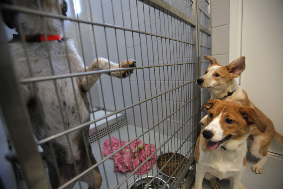 Photo - Basha and Mason watch as Bandit attempts escage at the Steven J. Bentley Homeward Bound Facility in Oklahoma City, Friday, June 29, 2012. The three are among 30 seized from a suspected puppy mill in March. Photo by Garett Fisbeck, The Oklahoman  Garett Fisbeck - Garett Fisbeck