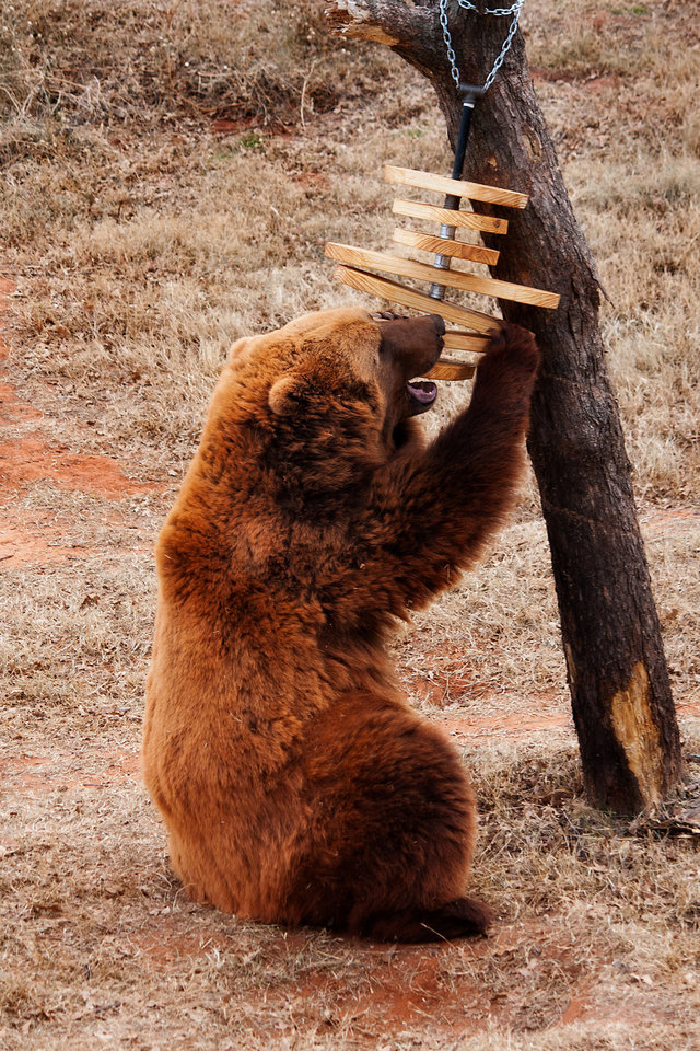 One of the zoo's grizzly bears plays with an enrichment item in its enclosure. Enrichment items are designed to prevent boredom while also stimulating behavior the animals might exhibit in the wild.