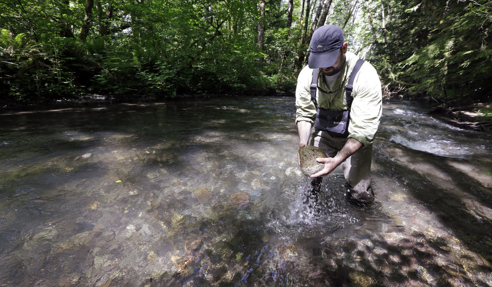 Photo - In this June 3, 2014 photo, fishery research biologist John McMillan lifts a rock from a previously used salmon spawning bed in a side creek flowing into the Elwha River near Port Angeles, Wash. The final chunks of concrete are expected to fall this September in the nation's largest dam removal project, but nature is already reclaiming the river. (AP Photo/Elaine Thompson)
