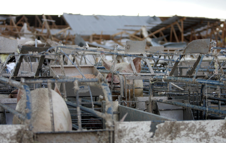 Photo - Pigs sit in their pen at Farm 62 of Seaboard Foods near Lacey, Okla., Saturday, May 24, 2008. The farm was severely damaged by a tornado. BY SARAH PHIPPS, THE OKLAHOMAN