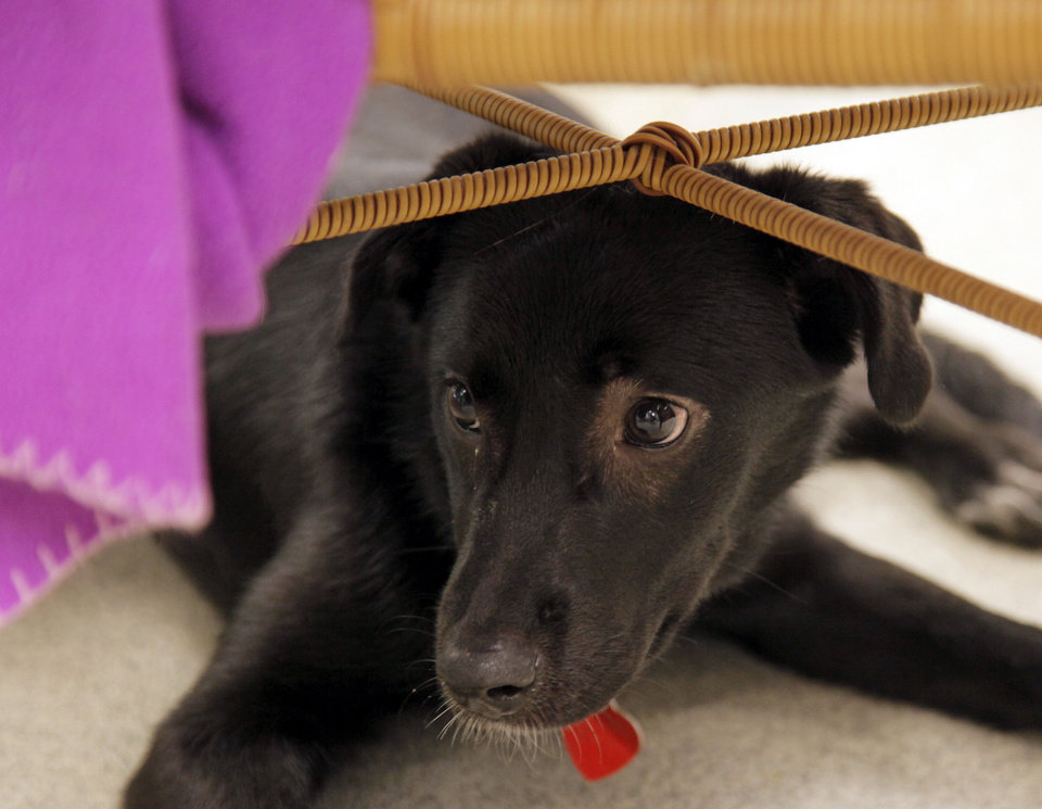 Photo - Daisy (A106852), a female border collie and lab mix, hides under a chair in an adoption room at the Oklahoma City Animal Shelter this month.  NATE BILLINGS - The Oklahoman