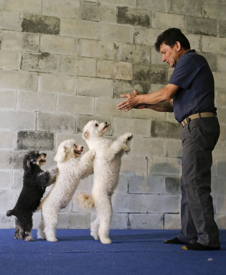 Photo - In this photo taken on Tuesday, April 22, 2014, Richard Olate works on a routine with performing dogs, from left, Loca, Copo and Toby, during a training session in Sorrento, Fla. Since the father and son took their 10 flipping, twirling dogs from the center ring of a circus to the stage of a reality show, where they won TV competition