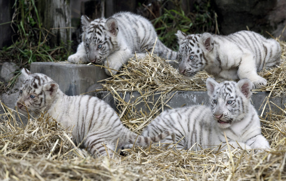Photo - Four white tiger cubs lay in their enclosure at the Buenos Aires Zoo in Argentina, Thursday, March 21, 2013.  The cubs' mother, Cleo, a captive Bengal white tiger, gave birth to two females and two males on Jan. 14. (AP Photo/Natacha Pisarenko)