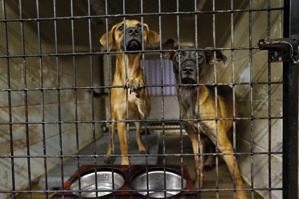 Photo - A pair of dogs share a compartment at Norman Animal Welfare, 3428 S Jenkins Ave. in Norman, which currently is being expanded and renovated.  PHOTO BY STEVE SISNEY, THE OKLAHOMAN  STEVE SISNEY -