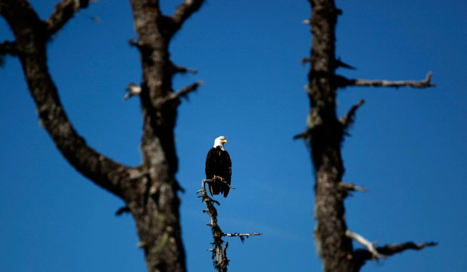 Photo -  A bald eagle sits on a tree in Ideal Cove, Alaska, Monday, June 4, 2012.  Photo by Sarah Phipps, The Oklahoman