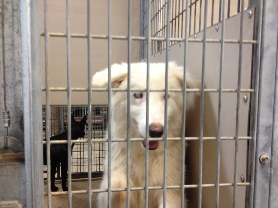 The Oklahoma City Animal Shelter is trying to reunite this dog with its owner. The owner stopped by the shelter looking for the dog  the day before it was brought in. But the owner did not  leave contact information. The dog is a cross-eyed, partially blind, deaf, albino border collie mix. <strong>Michael Kimball - The Oklahoman</strong>