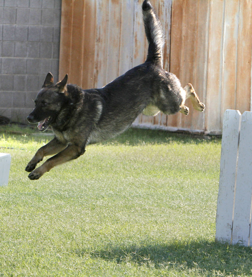 "Oklahoma City Police bomb dog ""Titan"" demonstrates some of the abilities of police dogs, as students take part in the Oklahoma City Student Police Academy. Photo by Paul Hellstern, The Oklahoman <strong>PAUL HELLSTERN - Oklahoman</strong>"