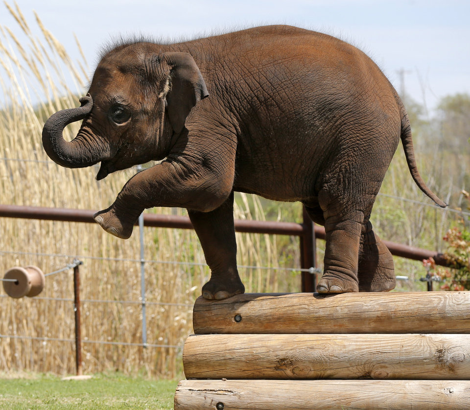 Photo -  Malee raises her trunk and a leg during a birthday party for the elephant at the Oklahoma City Zoo. Photo by Nate Billings, The Oklahoman   NATE BILLINGS -
