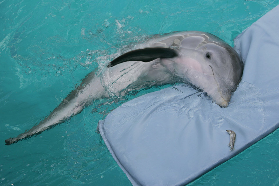 FILE - In this July 26, 2007 file photo, Winter,  a tailless dolphin, rests on her mat at the Clearwater Marine Aquarium in Clearwater, Fla. The Clearwater Marine Aquarium was heavily featured in the 2011 film �Dolphin Tale,� which told a fictionalized account of Winter the dolphin. The film reached audiences world wide and brought thousands of visitors to the aquarium.  The aquarium�s story is one that Film Florida, a lobbying group for the state�s entertainment industry, pushed recently when a delegation of filmmakers and others met with lawmakers in Tallahassee about extending the state�s incentive program for luring movie and TV production. (AP Photo/Chris O'Meara, File)