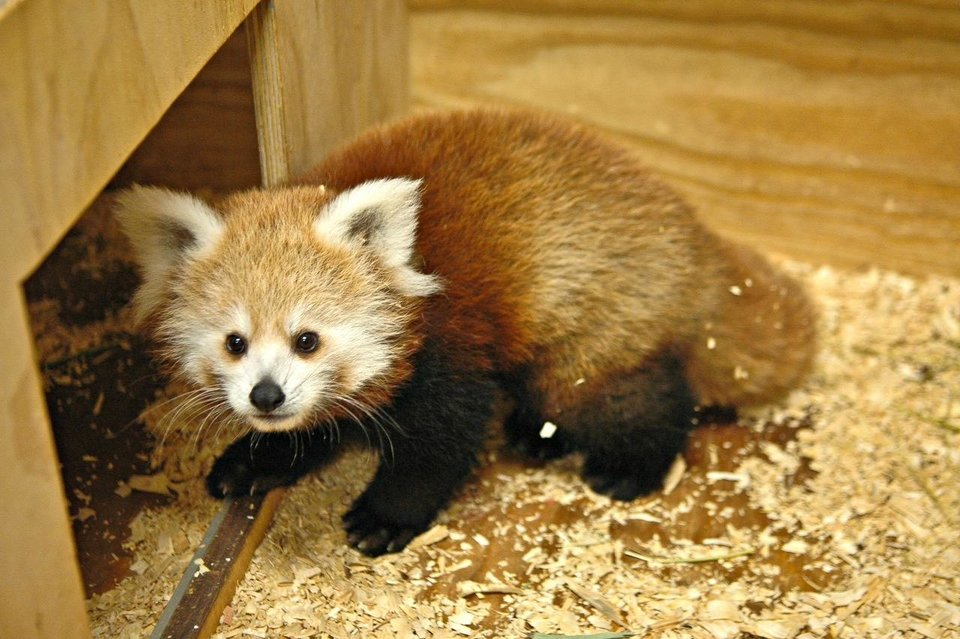 KayDee, a four-month-old red panda, was born the night the Thunder won the NBA's Western Conference Championship. She was introduced to the public last week. <strong>PROVIDED - PROVIDED</strong>
