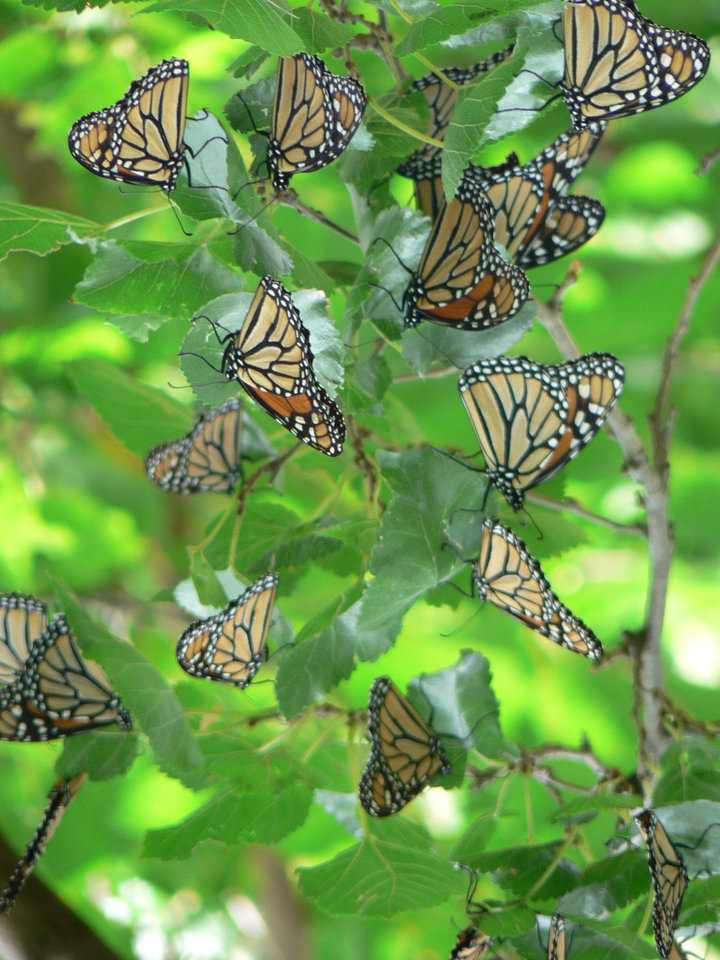 Photo - Butterfly Migration Pit Stop in Norman Backyard