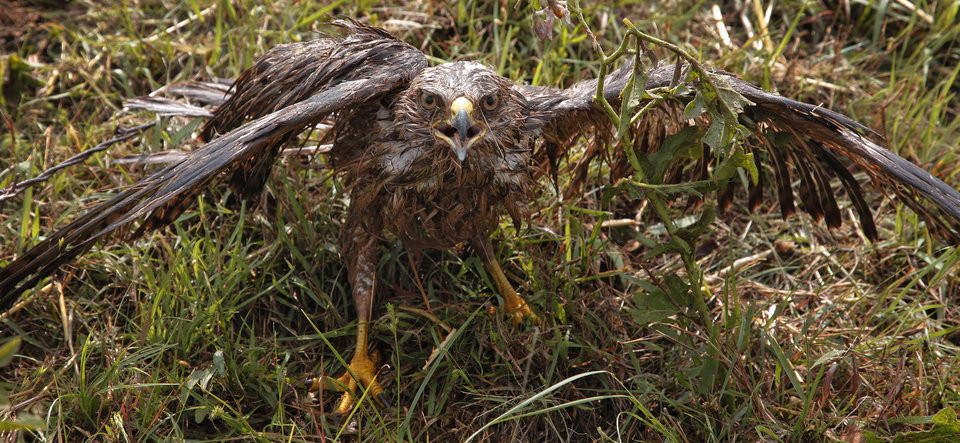 Photo - An injured hawk walks among the debris after a tornado passed west of El Reno, Tuesday, May 24, 2011. Photo by Chris Landsberger, The Oklahoman