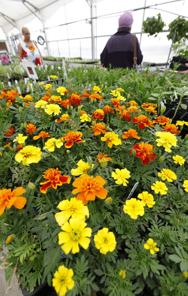 Marigold plants are seen Monday during a plant sale at Oklahoma Centennial High School in Oklahoma City. The plant sale was held to benefit the horticultural program at the school. Photo by Paul B. Southerland, The Oklahoman PAUL B. SOUTHERLAND