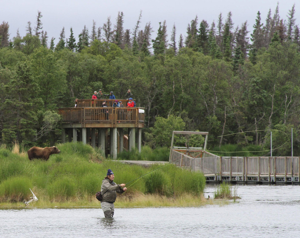 Photo - A bear walks between a viewing stand and an angler fisherman at Katmai National Park and Preserve, Alaska on July 4, 2013. At the height of the salmon season, near the end of July, there will be up to 70 brown bears plus cubs with a one-square mile area of Brooks Camp, along with humans. (AP Photo/Mark Thiessen)