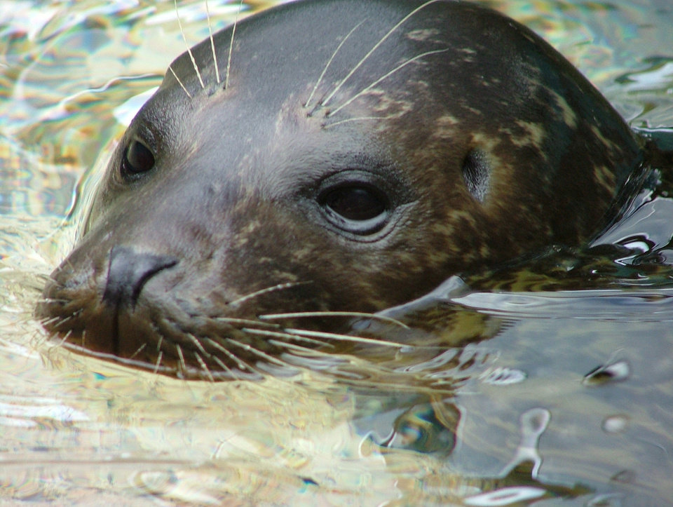 Below: Brindle, a harbor seal, died in 2007 of poisoning from coins in her  stomach.  PHOTO PROVIDED