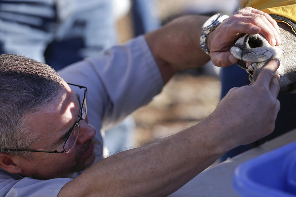 In this Wednesday, Oct. 31, 2012 photo, a veterinarian with the Division of Wildlife checks the teeth of a captured big horn sheep in the River Mountains near Henderson, Nev. In an attempt to help repopulate areas of southern Utah, fifty sheep from the River and Muddy mountains in southern Nevada are being captured for relocation to Grand Staircase National Monument. (AP Photo/Julie Jacobson)