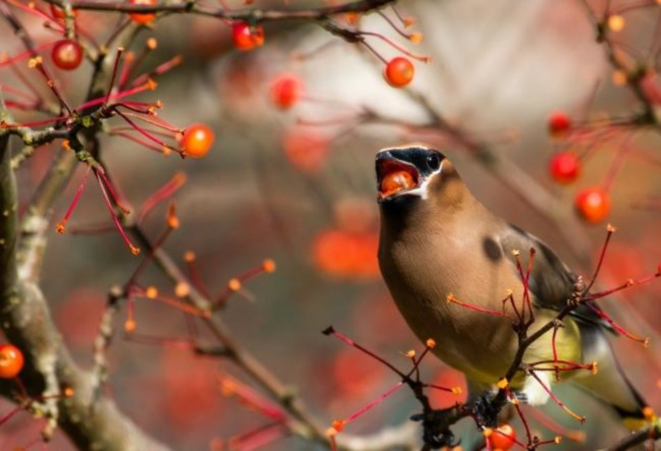 Photo -  The type of trees and shrubs you choose can make a big difference to birds. Shown is a cedar waxwing eating a chokeberry. [JANE GAMBLE]