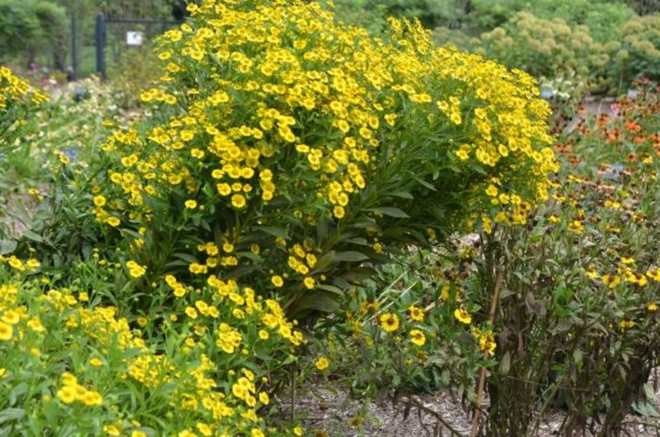 Photo -  The summer perennial named helenium was once used to make snuff. The variety Kanaria ranked as the top performer in a Mid-Atlantic trial. [MT. CUBA CENTER]